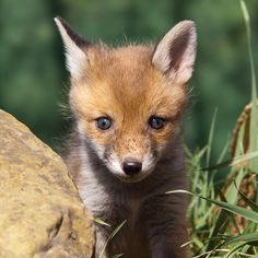 tiny-creatures.tumblr.com  |  Fox Cub by shaftina©tion @ Flickr Baby Foxes, Fox Baby, Arctic Circle, Cute Fox, Red Fox, North Africa, Cute Baby Animals, Animals Beautiful, Cubs