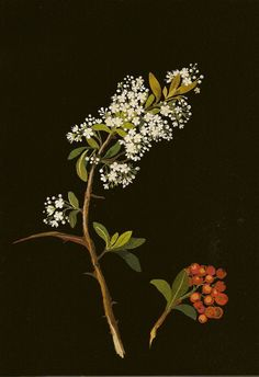 MARY-DELANY   Botanical study by Mrs. Delaney; hand colored tissue on black paper. Late 1700's. Mary Delaney