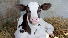 Baby cow 2