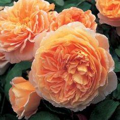 Crown Princess Margareta - David Austin Roses Apricot orange Medium Shrub/Short Climber. Summer pruning.  Crown Princess Margareta of Sweden- Granddaughter of Queen Victoria