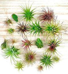 10 assorted Tillandsia ionantha species Air Plants