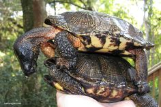 wood turtles breeding on land