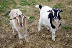 Two Arapawa Goats, a rare breed of New Zealand origin, look at the. Livestock, Image Now, New Zealand, Sheep, Goats, Royalty Free Stock Photos, Agriculture, Portraits, Animals