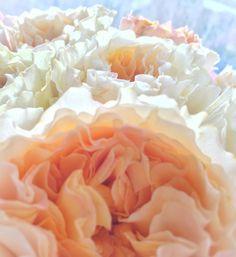 David Austin cut Flower collection. Order them online @ http://www.parfumflowercompany.com or visit your Florist. Pin : The folds of a #DavidAustin