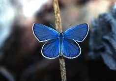 The Karner Blue Butterfly is Back in Ohio!