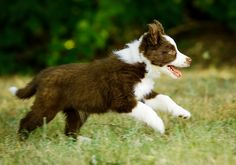 Puppies are the best | Border collie puppy