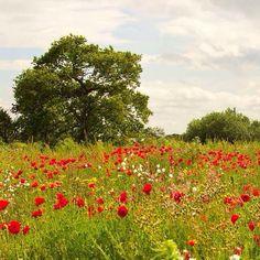 lovely poppy field and oak tree
