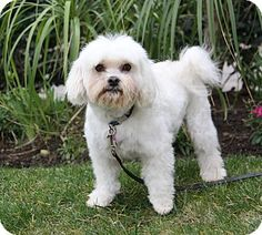 Newport Beach, CA - Maltese/Poodle (Miniature) Mix. Meet WILLIE, a dog for adoption. http://www.adoptapet.com/pet/14799183-newport-beach-california-maltese-mix