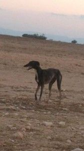 "Volunteers from Galgos del Sol try to catch an injured galgo ""living rough"" in Spain."