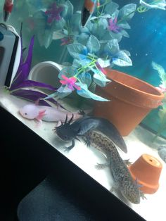 All 3 of my babies posing together : axolotls (crédit to reem_bae who has some GORGEOUS axies) Les Reptiles, Cute Reptiles, Reptiles And Amphibians, Axolotl Pet, Axolotl Tank, Aquarium Terrarium, Aquarium Fish, Cichlid Aquarium, Cute Funny Animals