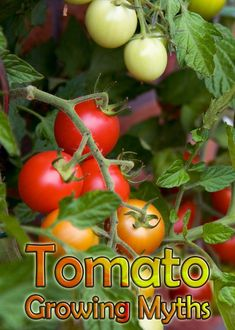Many people started gardening by way of the tomato. They were the very first vegetable we grew. Many gardeners have the techniques they swear by to get the biggest and best tomatoes. Here are some tomato growing myths that are not necessarily true.