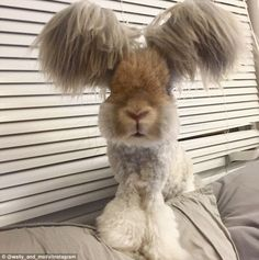 Social media star: Wally, an English Angora bunny from Massachusetts, has amassed more than 24,000 followers on Instagram