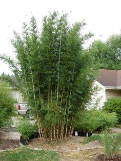 Chusquea culeou – Chilean Feather Bamboo