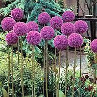 Allium.  Hoping a bunch more of these come up in our flower beds this Spring!