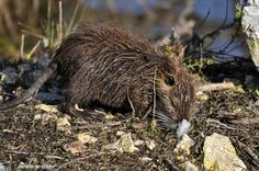 Rat musqué • Ondatra zibethicus