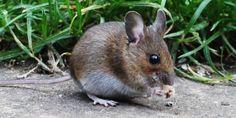 Come allontanare i topi senza ucciderli? Potrebbe capitarvi di trovare un topo in cantina, in garage, tra i bidoni della spazzatura, nell'orto o nella dispensa. Le trappole e i veleni per topi sono purtroppo tra i rimedi più popolari, ma esistono altri metodi per tenere lontani i topi senza ferirli e senza ucciderli. Ecco alcuni consigli utili per risolvere il problema dei topi.
