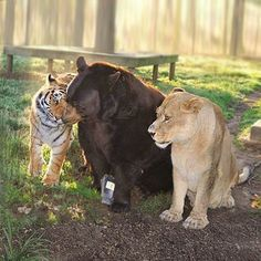 lions tigers and bears the world of e hrm What if we told you that in some parts of the world 10 strange animals from around the world but what if we told you that lions, tigers, and bears (oh, my) were just scratching the surface.