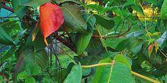 Rhus toxicodendron cuida las articulaciones http://www.homeopatia-online.com/rhus-toxicodendron/