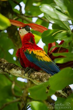 ❦ Scarlet macaw by Jeff Costa Rica Photography, via Flickr