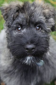 Bouvier des Flandres pup
