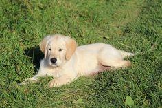 Pes, Dorost, Zvíře, Zlatý, Zlatý Retrívr, Pet