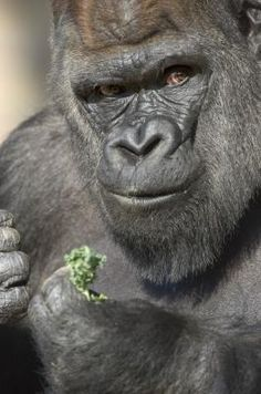 KoKo The Gorilla's Quest for a Baby! http://www.isfoundation.com/news/koko-gorillas-quest-baby