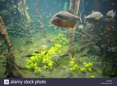 red-bellied-piranha-fish-swimming-in-giant-glass-tank-at-london-aquarium-B4F39A.jpg (1300×956)