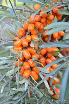 Sea buckthorn- 12 Perennials to Plant for Free Chicken Food