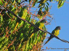 Зеленый попугай в Южной Флориде
