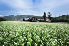 철길을 수놓은 하얀 메밀꽃의 향연, 강원도 정선 나전역