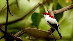 Rare Animals That Need Preservation: Araripe Manakin