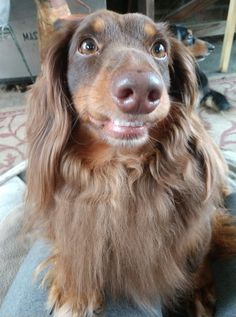 Dachshunds, Doggies, Sausage Dogs, Mini Dachshund, I Smile, Funny Dogs, Spirit, Puppies, Pets