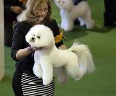 Westminster Dog Show 2015 - Bing Images