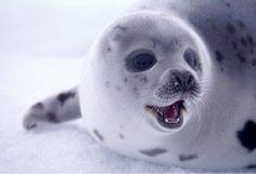 Helfen Sie, die Robbenjagd in Kanada zu beenden!