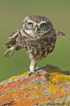 misterowlhoots:  Karate OWL TOYZEEEEEEEE (by Sparkyfaisca)