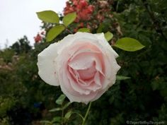 Bride's Dream, zone 6, height 4-5 ft, bloom size 5, Hybrid Tea