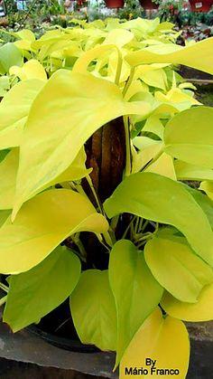 minha jiboaaaaaaaa... amo verdeeeeeeeeeee, amarelo sendo planta