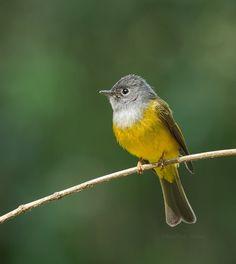 Grey-headed canary-flycatcher (Culicicapa ceylonensis