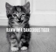 A cute little kitty rawr . little kitty with a soul of a lion. Cute Kittens, Cats And Kittens, Baby Animals, Funny Animals, Cute Animals, Wild Animals, Crazy Cat Lady, Crazy Cats, Funny Cute