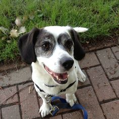 ADOPTED - Snoopy is a 6-7 year old Hound mix. He looks to be part Beagle and part Bassett Hound but it is hard to tell.  Snoopy is a happy, laid back dude.  He likes basking in human affection Snoopy is a happy, laid back dude. He likes basking in human affection and will relax with you and roll over for a nice belly rub. He is not an athlete but likes a nice leisurely stroll around town to take in the smells. Visit www.poainc.org for more info.