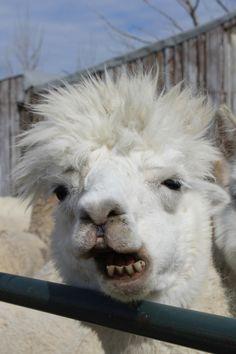 rowdy alpaca