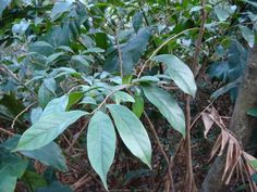 Antidesma japonicum南投五月茶(密花五月茶)