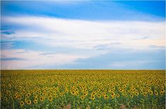 Sunflower season in Colorado is a beautiful time! Flowers go on for miles!