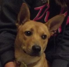 Gypsy is an adoptable Basenji Dog in Mansfield, OH. Meet Gypsy. She came in as a stray on 4/10/12. Gypsy is so scared to be here, but is very sweet once she knows you. Gypsy loves affection and will r...