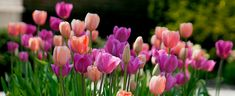Tulip Bulbs Sherbet- possibility for Welcome sign bed