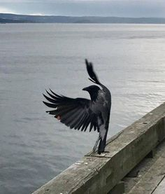 Raven taking off or landing? All Birds, Love Birds, Beautiful Birds, Raven And Wolf, Quoth The Raven, Raven Tattoo, Tatoo Art, Raven Art, Jackdaw