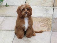 Reviews, cute, puppies, Banksia Park Puppies, Cavoodle, Spoodle, Puggle, Pugalier, Moodle, Banksia Park Puppies Reviews