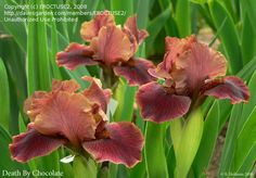 View picture of Standard Dwarf Bearded Iris 'Death By Chocolate' (Iris) at Dave's Garden.  All pictures are contributed by our community.