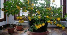 Grow a lemon tree!