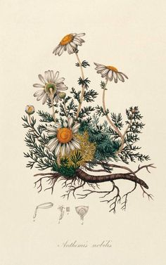 Remedies To Relief Pain The Best Herbs for Pain Relief—Aromatherapists use chamomile essential oil to promote relaxation and pain relief. Check out the link for more natural pain relief solutions. Art And Illustration, Art Illustrations, Botanical Tattoo, Botanical Drawings, Botanical Art, Botanical Flowers, Botanisches Tattoo, Tattoo Drawings, Art Deco Posters